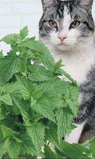 Catnip / Cat Mint / Nepeta Cateria Seeds