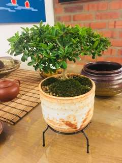Bucida mini bonsai