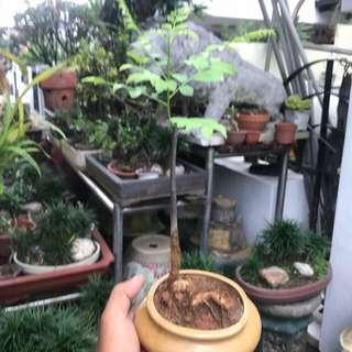 Healthy curry bonsai