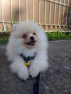 Anak Anjing Super Mini Pom 2 Bulan