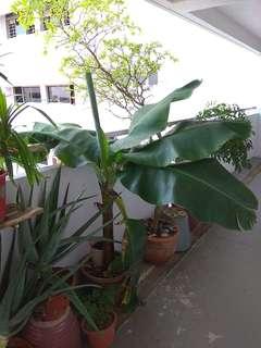 Dwarf Banana Tree