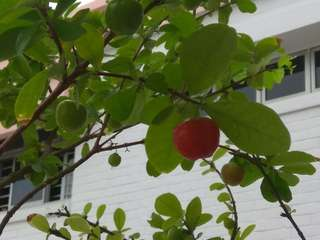 """ Cherry Apple"" tree"