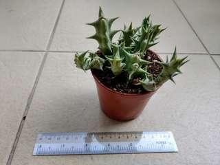 Huernia Cactus