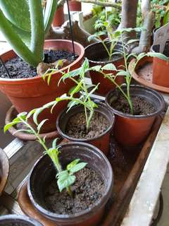 Cherry Tomato Plants (Oval)