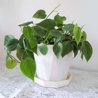 Heart Leaf Plant (Philodendron Plant)