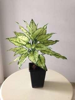 Dieffenbachia / Dumb Cane Plant
