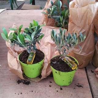 Olive Tree 橄榄 Olive Tree Plants
