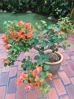 Matured Orange bougainvillea