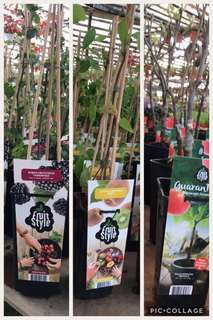 Fruit trees imported from Holland (Apple, Blackcurrant, Kiwi Berry, Raspberry)