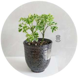 SOLD OUT / Mini Bonsai in Japanese Kuro Pot Variation 2