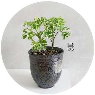 SOLD OUT / Mini Bonsai in Japanese Kuro Pot Variation 2