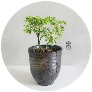 SOLD OUT / Mini Bonsai in Japanese Kuro Pot Variation 1