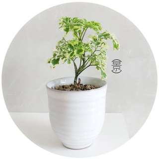 SOLD OUT / Mini Bonsai in Japanese Shiro Pot Variation 2