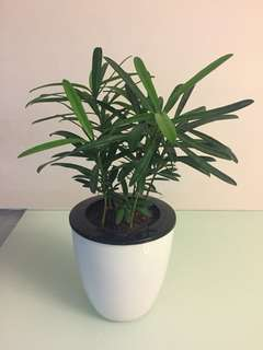 Podocarpus in Small Self Watering Pot