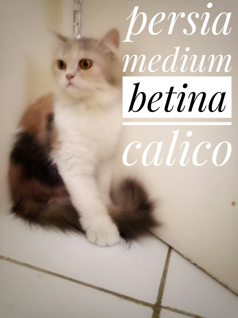 Download 94+  Gambar Kucing Persia Calico Imut Gratis