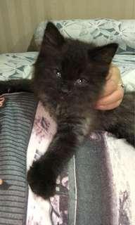 Kucing persia betina 3bln