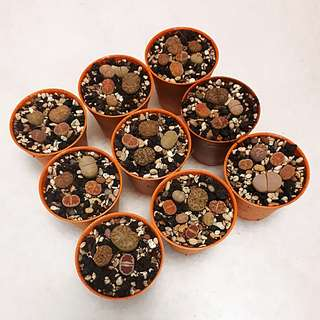 Living Stone Lithops