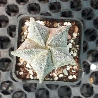 Star Astrophytum