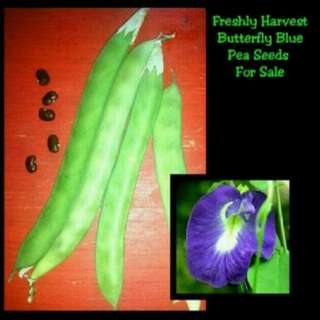 GARDENING - Freshly Harvested Butterfly Blue Pea (Aka Clitoria Ternatea) Seeds For Sale
