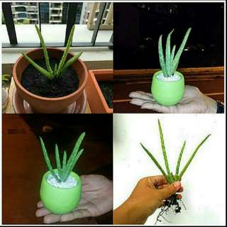 GARDENING - Pesticides-Free Baby Aloe Vera Plant For Sale