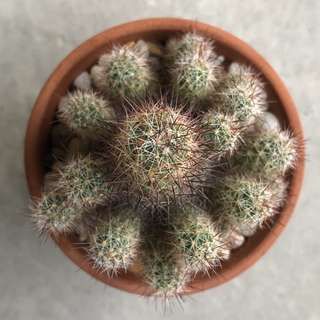 Cactus clump