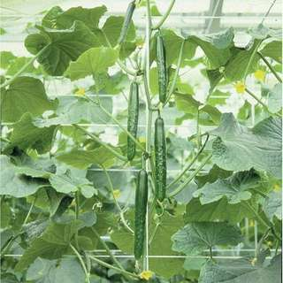 Gardening ♡ Japanese Cucumber Seeds X 15