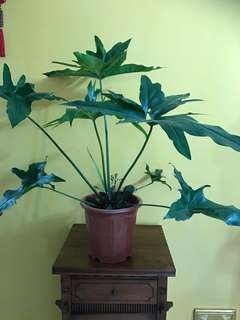 Philodendron 'African Fantasy'. P. goeldii x P. bipinnatifidum for sale