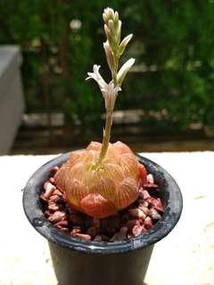 Haworthia Cooperi ~ 3cm