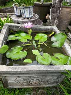 Pink water lilies with concrete patterned pot