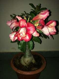Pink Rosy Adenium