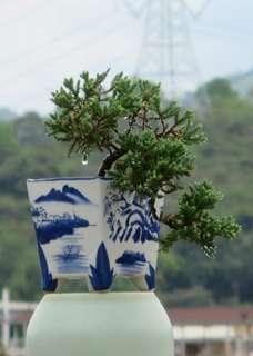 珍珠柏 盆栽 盆景
