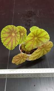 Begonia quadrialata ssp nimbaensis