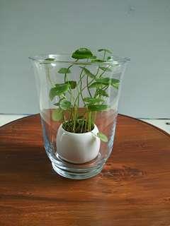 Pennywort in clear transparent vase