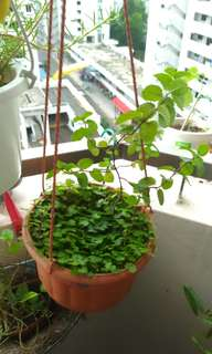 Hanging plant with mint
