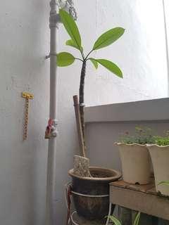 Young frangipani (yellow and pink)