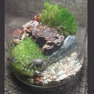 Moss terrrium wih mini crabby