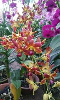 Dendrobium uncommon