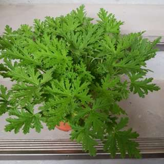 New bushy citronella aka plant