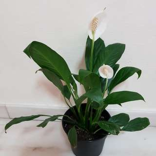 Peace lily with new bloom. Simple beautiful!