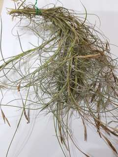 Mallemontii Clumps (Airplants)