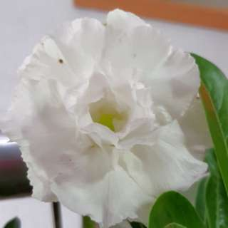 Pure white adenium plant. One and only. Grab now!