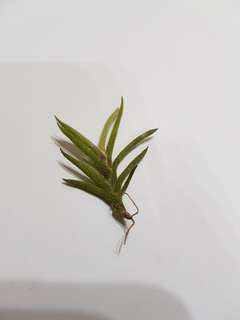 Capillaris 'Giant Form' (Airplants)