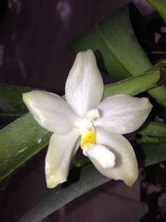 Phalaenopsis no id (might be micholitzii x tetraspis)