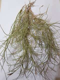 Kimberly (T.Usneoides X T.Recurvata) (Airplants)