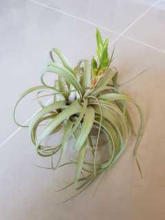 Best In Class (Airplants)