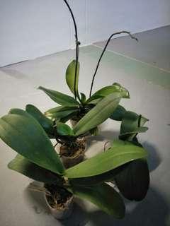 Phaelopnis mother plant
