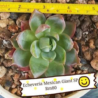 Echeveria mexican hybrid