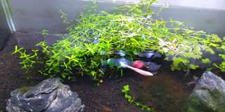 rotala for sell