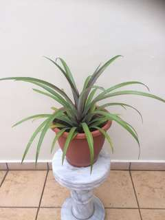 Pineapple plant : Prosperity 88