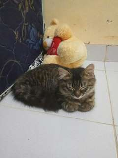 Kucing Mix Longhair cewek Manja lincah